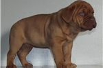 Picture of DDB Puppy Available-Female