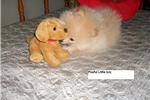 Picture of Pomeranian male puppy ..IZZY