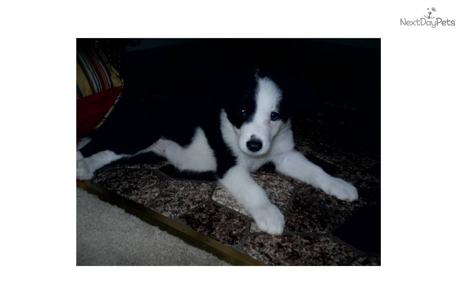 Free Download Border Collie Boxer Cross Puppies For Sale Drumbo ...