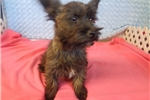 Picture of Male Norwich Terrier/Cairn Terrier