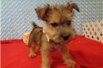 Picture of Male Norwich Terrier