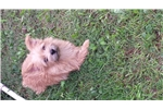 Picture of CKC  Female Norwich Terrier