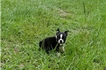 Picture of AKC BOSTON TERRIER CHAMPION BLOODLINES ( KYLIE )