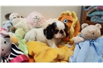Loving English Toy  | Puppy at 32 weeks of age for sale