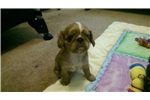 Picture of AKC English Toy Spaniel
