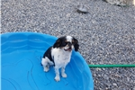 Picture of Sweet English toy spaniel
