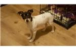 Picture of Registered Mini rat terrier