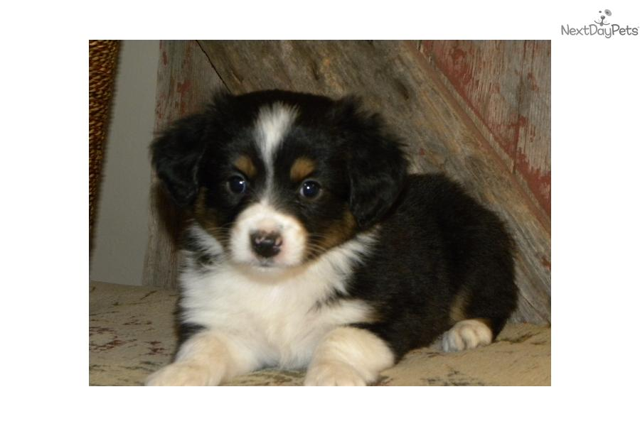 Miniature australian shepherd puppy for sale near sioux falls se sd
