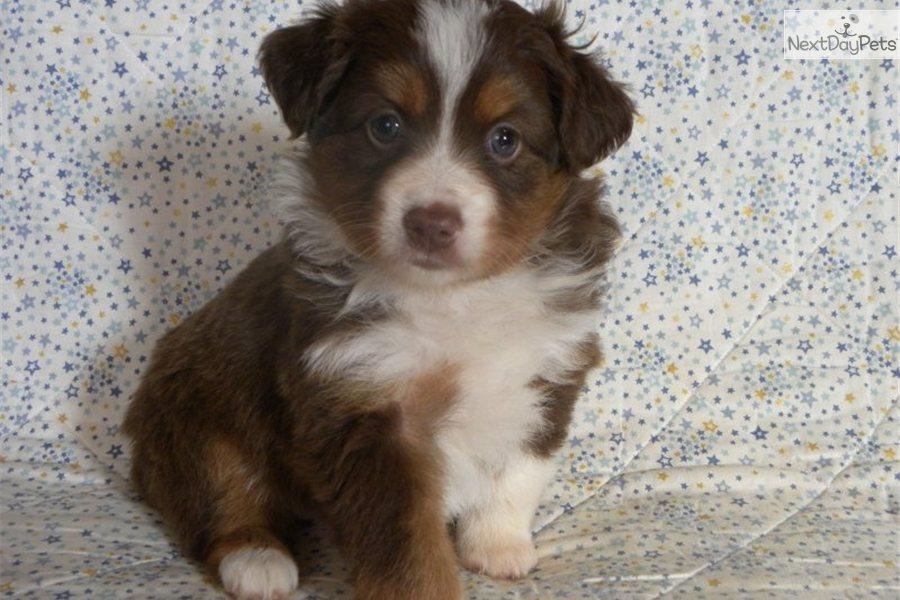 Miniature Australian Shepherds Puppy