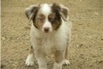 Miniature Australian Shepherd for sale