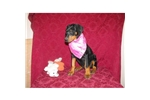 Picture of a Doberman Pinscher Puppy