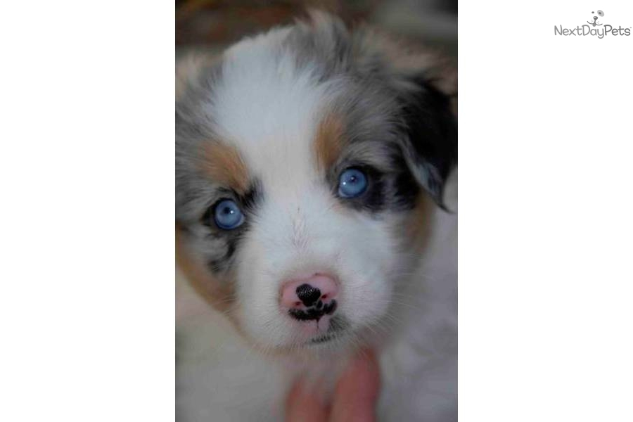 Dog kennel near me miniature australian shepherd for Pet hotels near me
