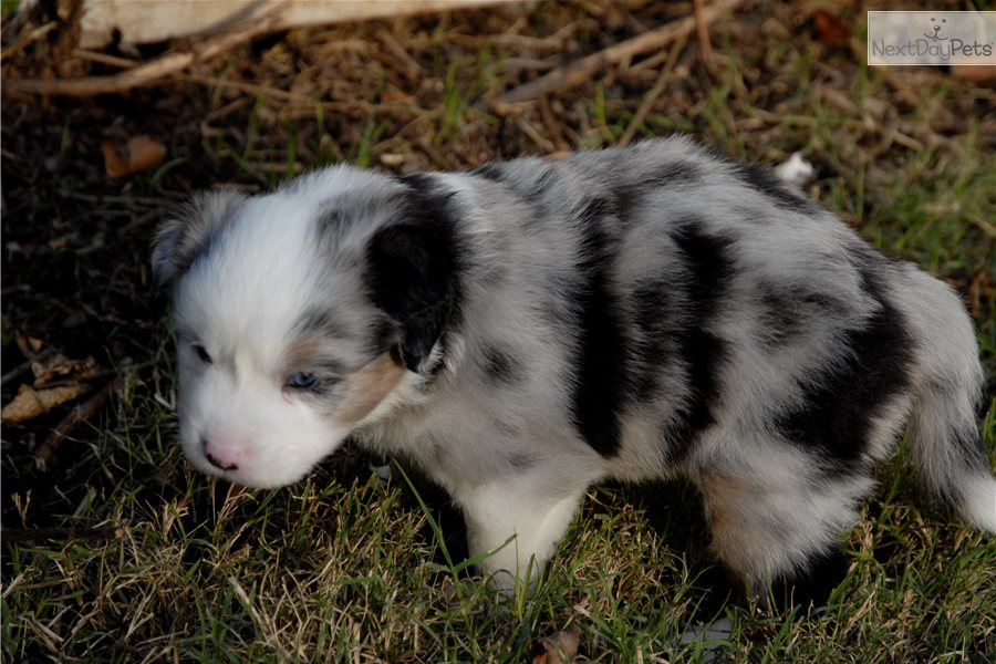 Mini Australian Shepherd Dogs 101