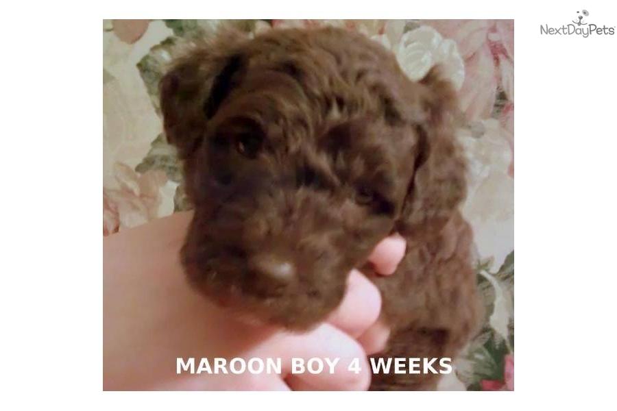Labradoodle puppy for sale near greensboro north carolina f9184e08