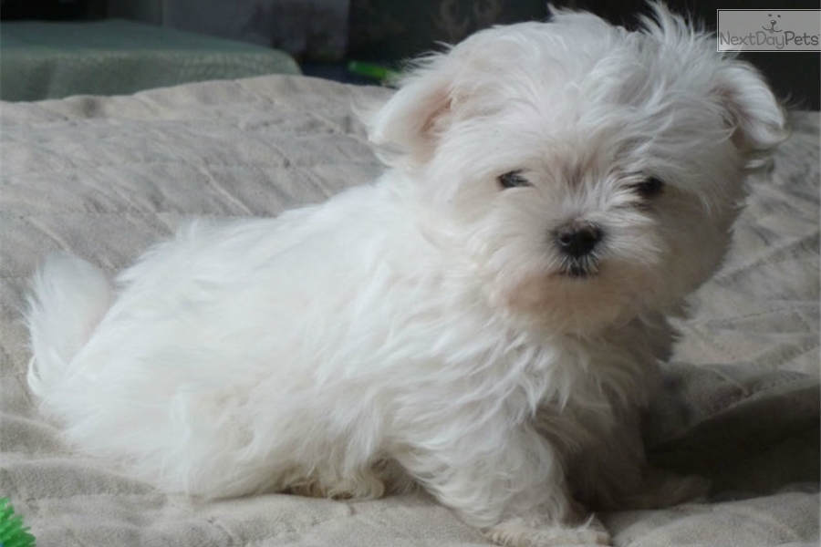 Puppies for Sale from La Chic Patte - Member since June 2010