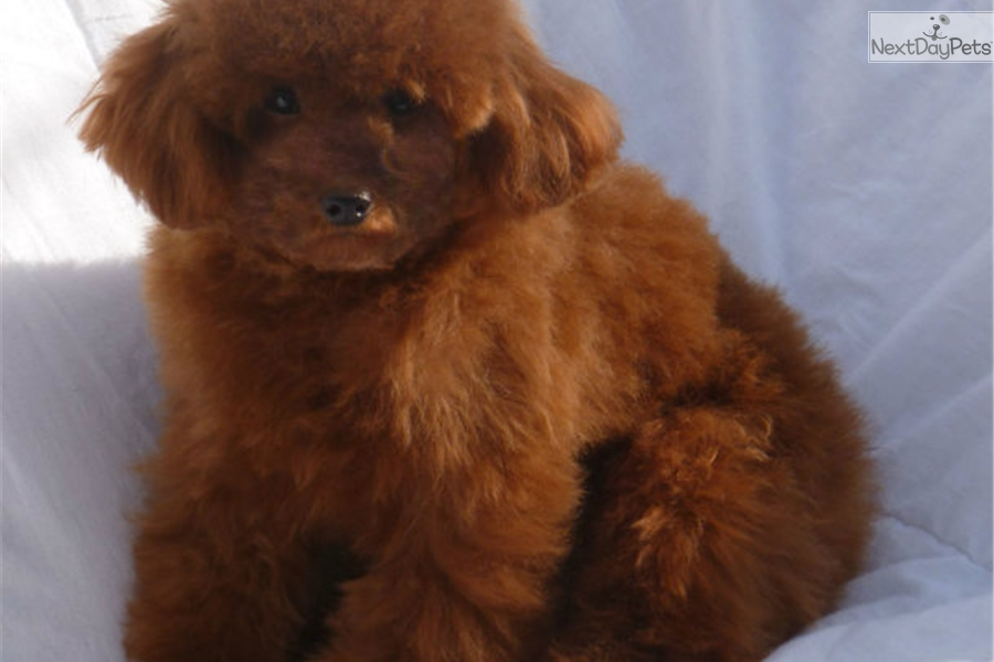 Puppies for Sale from La Chic Patte™ - Member since June 2010