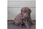 Picture of Missie - Mini chocolate female labradoodle puppy
