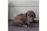 Picture of Drake - Mini chocolate male labradoodle puppy