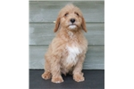 Picture of River - small red male (around 30 lb) labradoodle