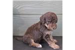 Picture of Clark - Mini chocolate phantom male labradoodle