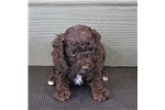 Picture of Tasha - Mini chocolate female labradoodle puppy
