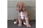 Picture of Hudson - Mini chocolate male labradoodle puppy
