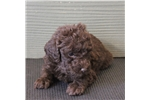 Picture of Wendy - Mini chocolate female labradoodle puppy