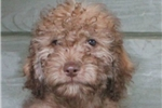 Picture of Clark - mini lt & dk chocolate male labradoodle