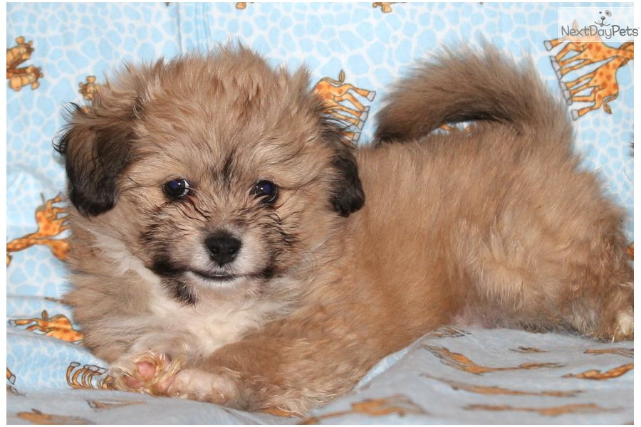 Havanese Rescue Dogs For Adoption