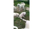 Picture of Great Pyrenees Puppies From Working Parents