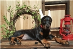 Picture of  AKC  BLK  N RUST MALE  EAR CROP INCL.