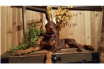 Picture of AKC RED N RUST FEMALE  EAR CROP INCL.