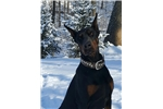 Picture of AKC BLK N RUST MALE