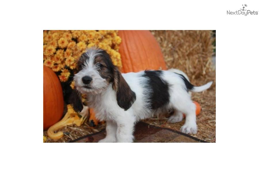 Petit basset griffon vendeen puppy for sale near sioux city iowa a11dcf6a 4bd1 - Petit basset hound angers ...