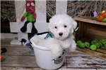 Coton De Tulear for sale
