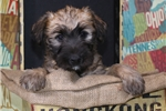 Petit Basset Griffon Vendeen for sale