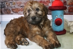 Havanese for sale