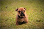 Picture of  Super compacted Olde english bulldog female puppy