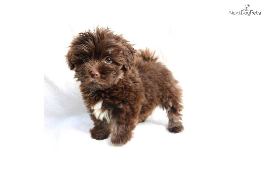 havanese puppy for sale near san francisco bay area