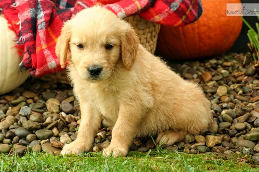 Golden Retriever Puppies For Sale Denver