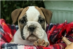Adorable 7/8th English Bulldog Puppy