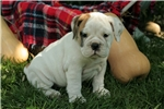 Picture of Adorable 7/8th English Bulldog Puppy