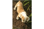 Picture of Adorable 3/4 English Bulldog Puppy