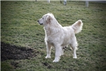 Picture of Adorable AKC English Cream - CH bloodlines - Davis