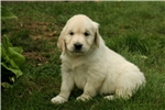 Picture of Adorable AKC English Cream - CH bloodlines - Hazel