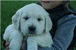 Picture of Adorable AKC English Cream - CH bloodlines - Grady