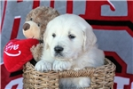 Picture of Adorable AKC Golden Retriever Puppy