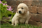 Picture of Adorable AKC English Cream - CH bloodlines - Coope