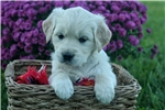 Picture of Adorable AKC English Cream - CH bloodlines - Daisy