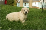 Picture of Adorable AKC English Cream - CH bloodlines - Milo